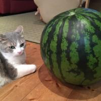 猫とスイカ2